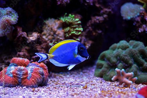 Staande foto Koraalriffen Powder blue tang