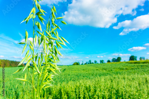 Poster Pony Field of green oats