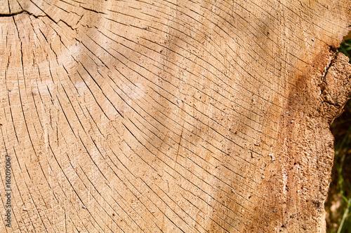 Fotografie, Obraz  Cracked Oak Log Cross Section