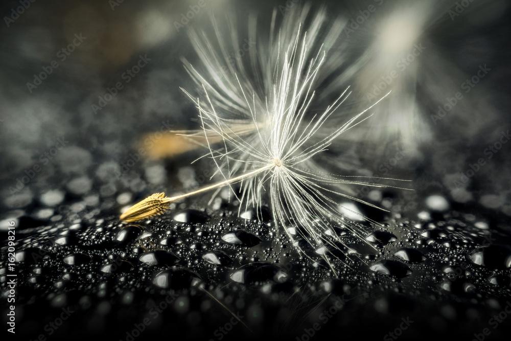Fototapety, obrazy: Seed of dandelion
