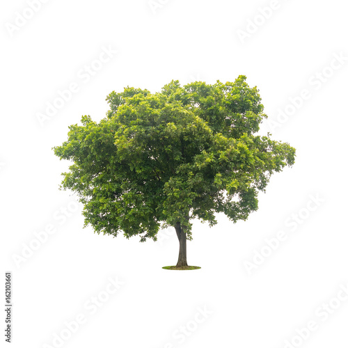 Fotografia, Obraz  beautiful green tree isolated on white with clipping path