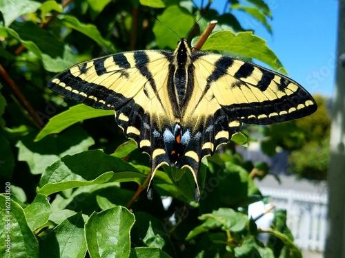 Swallowtail butterfly on mock Orange 2