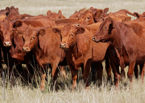 Free-range red angus cattle on pasture, Argentina. Canvas Print