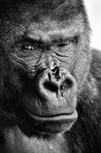 Black And White Close-up Of A Powerful Gorilla Face With A Thoughtful Stare