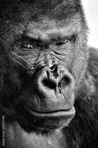 Платно Black and white close-up of a powerful gorilla face with a thoughtful stare