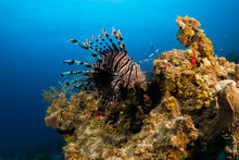 The Red Lionfish Is An Invasive Species In The Caribbean. The Pretty Creature That Arrived Through The Aquarium Trade Is A Stress To The Ecosystem In Its New Habitat And Is Damaging The Environment.