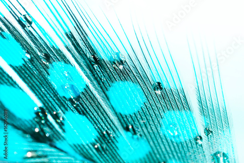 Texture of  bird feather turquoise color with spotted pattern with water drops macro with selective focusing.