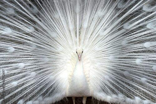 Photo sur Aluminium Paon White peacock close-up