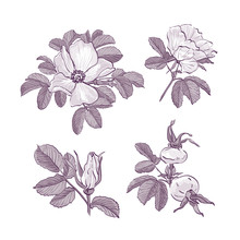 Wild Rose Isolated, Dog-rose Drawing Flowers. Botanical Drawings, Trendy Monochrome Flowers On White Background, Vector Briar Rose Illustration