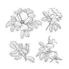 Dog-rose Drawing Flowers, Hand...