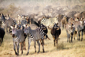 Fototapeta na wymiar Zebras and wildebeest during the Big Migration in Serengeti National Park