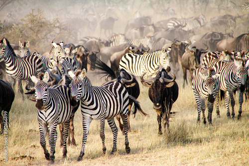 Poster Zebra Zebras and wildebeest during the Big Migration in Serengeti National Park