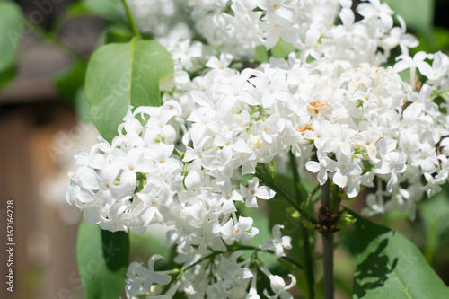 biale-kwiaty-bzu-na-drzewie-w-ogrodzie-na-wsi