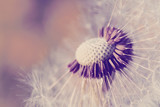 close up of Dandelion, spring abstract color background - 162169450
