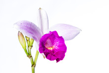 Bamboo Orchid On White