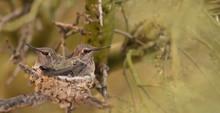 Hummingbirds In Nest
