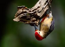 Yucatán Woodpecker (Melanerpe...