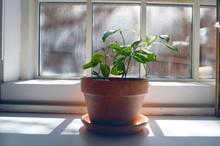 Devils Ivy Indoor Houseplant O...