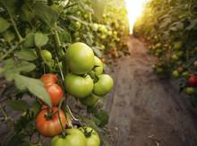 Beautiful Organic Tomatoes Gro...