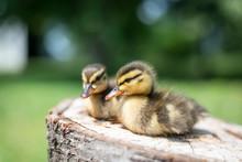 Cute Little Mallard Ducklings ...
