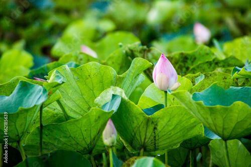 ping lotus