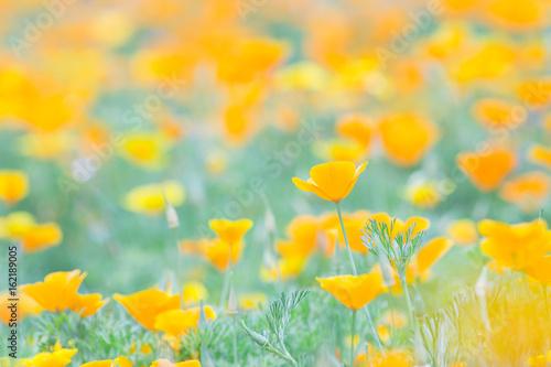 Fotografie, Obraz  ハナビシソウの花畑