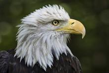 A Detailed Head Shot Portrait Of A Captive Bald Eagle.