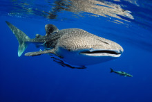 Whale Shark Is A Big Fish In T...