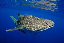 Giant Sea Whale Shark..