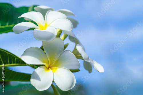Tuinposter Frangipani Close up of plumeria frangipani flowers with leaves,plumeria frangipani flowers blooming on the tree.