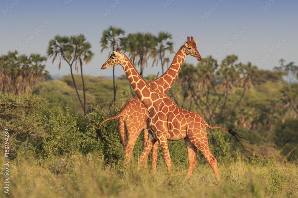 Giraffes in African savannah