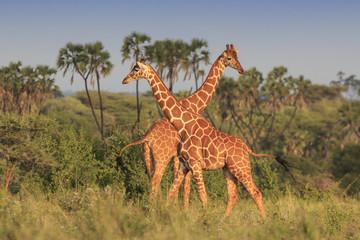 Plakat Giraffes in African savannah