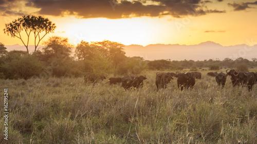 Fotobehang African buffalo at sunset in savannah