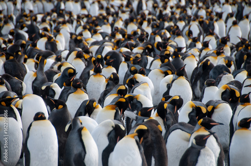 La pose en embrasure Pingouin King Penguins on Gold Harbour