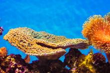 Montipora Coral - Montipora Is...