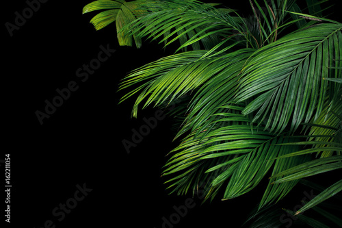 Canvas Prints Palm tree Palm leaves, the tropical plant growing in wild on black background.