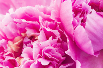 Obraz na Plexi Peonie Pink Peony Close Up