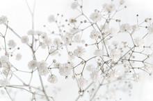 Wonderful Soft White Gypsophila On White Background