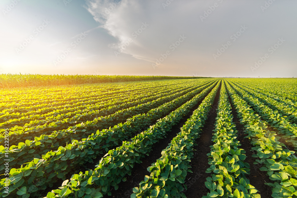 Fototapety, obrazy:  Agricultural soy plantation on sunny day - Green growing soybeans plant