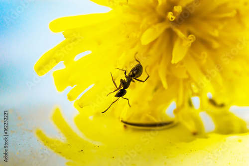 Spring landscape. The ant in the yellow flower of a dandelion, shot macro, selective focus
