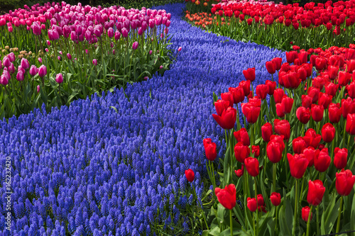 Photo sur Toile Bleu fonce Flowers in garden Keukenhof Netherlands