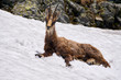 Chamois male cooling off in the snow