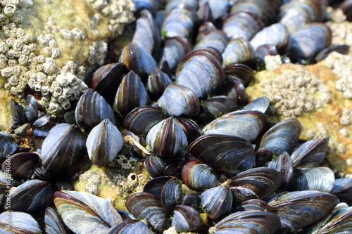 Moules et balanes accrochées à un rocher sur la côte bretonne