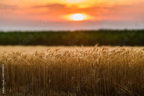 Foto op Plexiglas Weide, Moeras Wheat field in sunset night