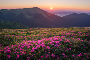 Fototapeta Beautiful mountain landscape with blossoming rhododendron flowers