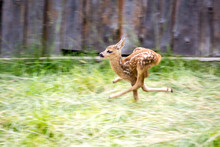 Runinig Scared Deer