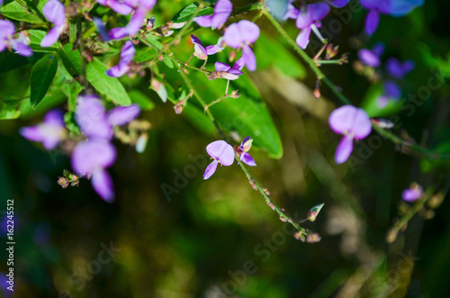 Macro Closeup Of Hanging Violet Purple Wisteria Flowers Buds On