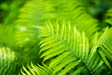 Ostrich Fern Matteuccia Struthiopterisin The Forest In Moscow. Russia
