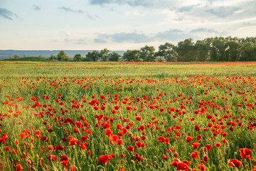 FototapetaField of fresh poppies at sunset in the South