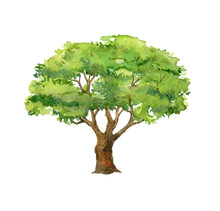 Green Tree Isolated On White Background, Watercolor Illustration